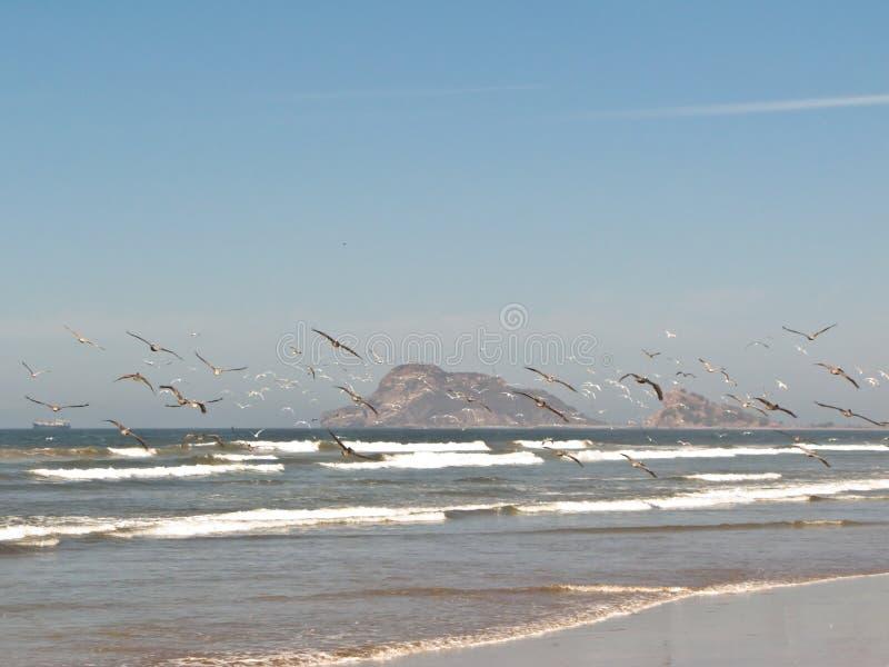 Чайки в Масатлан стоковое изображение