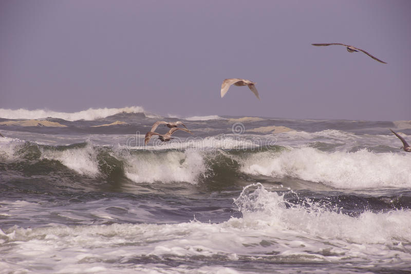 Чайки летая вне над входящим прибоем стоковые изображения rf