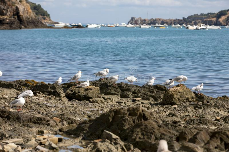 Чайки ждать выжимк устриц и рыб в Cancale brittani стоковые фото