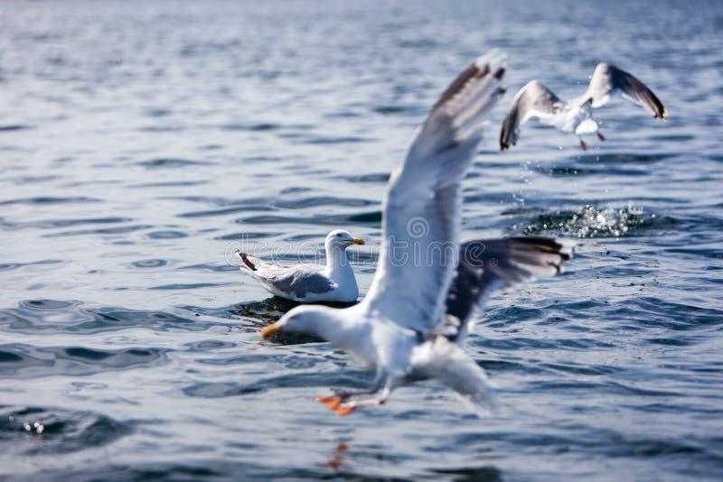 Чайки ждать рыб стоковое фото rf