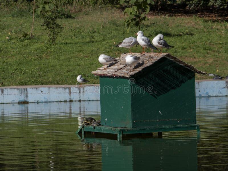 Чайки и черепахи загорая в середине пруда стоковые изображения rf