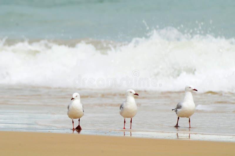 3 чайки идя в воду пляжа прибоя стоковые изображения rf