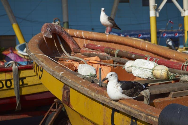 Чайки келпа на рыбном базаре в Вальпараисо, Чили стоковые изображения rf