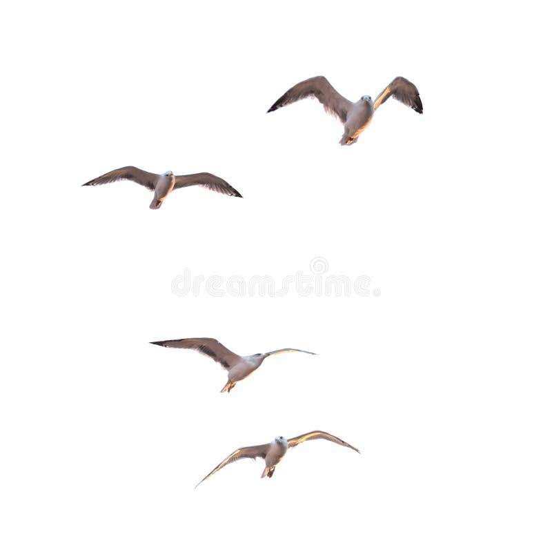 Чайки летания стоковые фотографии rf