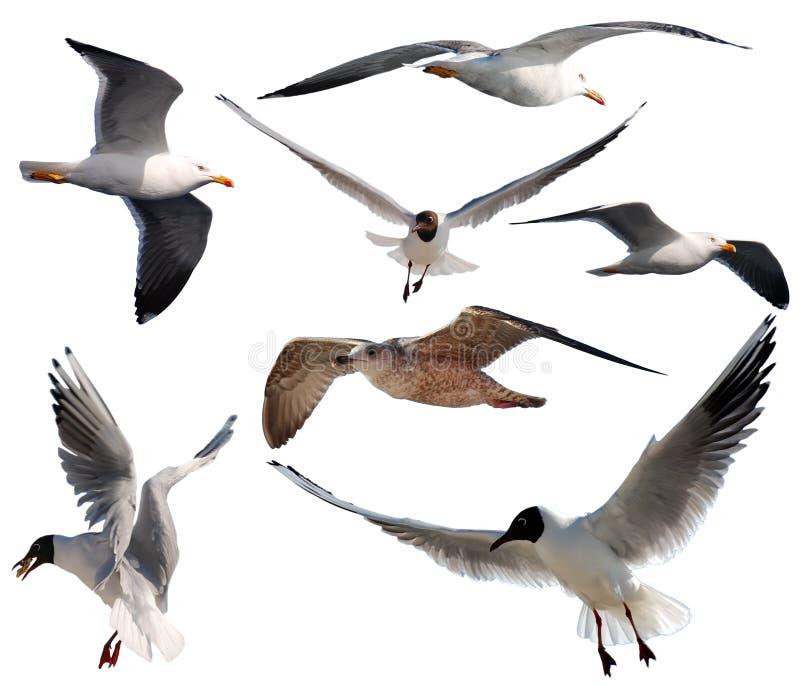 чайки летания стоковые изображения