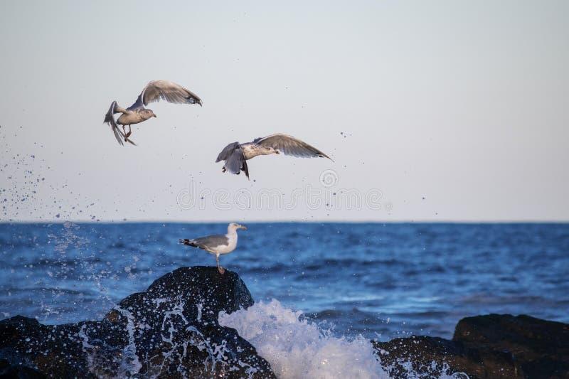 Чайки летают вверх стоковые фотографии rf