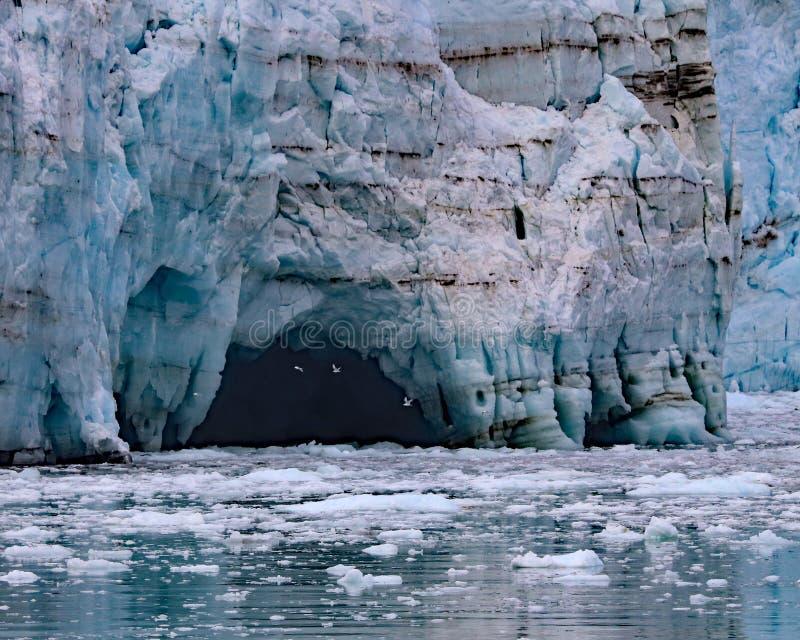 Чайки летая в ледник Margerie пещер льда стоковые фото