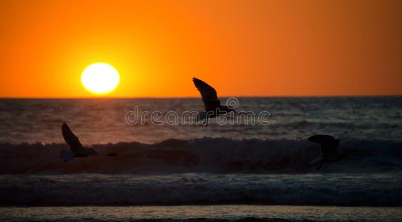 Чайки летая на заход солнца на пляже полета стоковые фото
