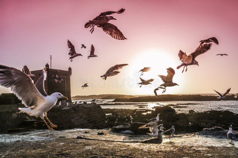 чайки Марокко стоковые изображения rf