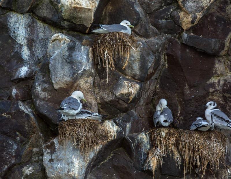 Чайки моря гнездятся на скалах Тихого океана стоковое изображение rf