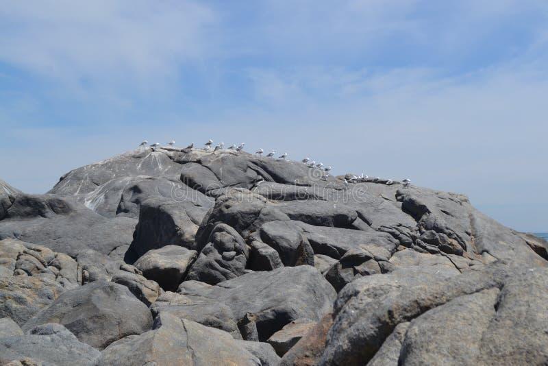 Чайки национального парка западного побережья стоковые фотографии rf