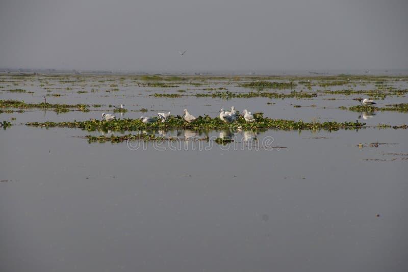 Чайки на гиацинте воды стоковые изображения