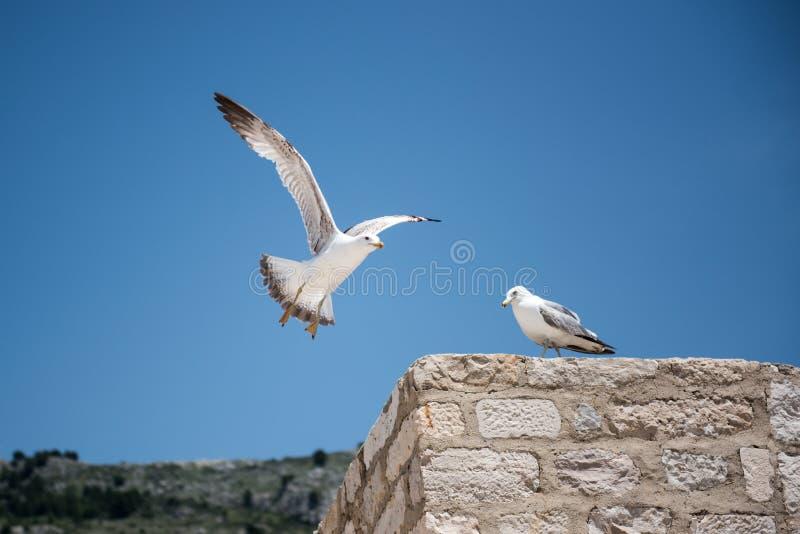 2 чайки на заднем плане голубого неба стоковое изображение