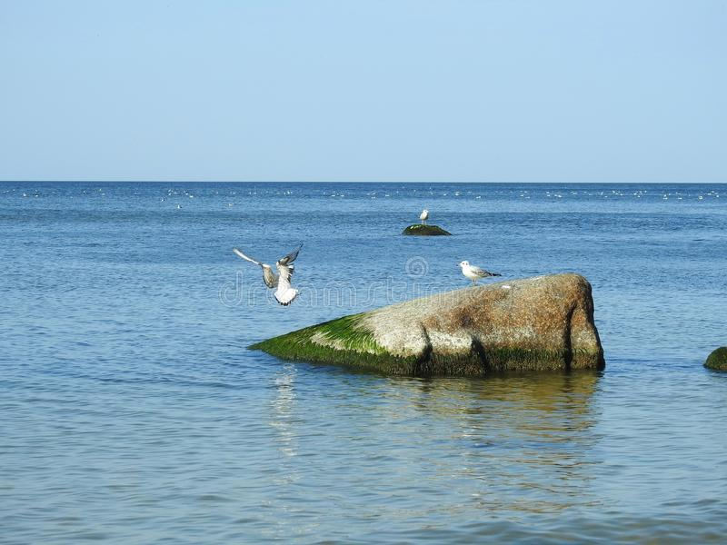 Чайки на камнях, Литве стоковое фото