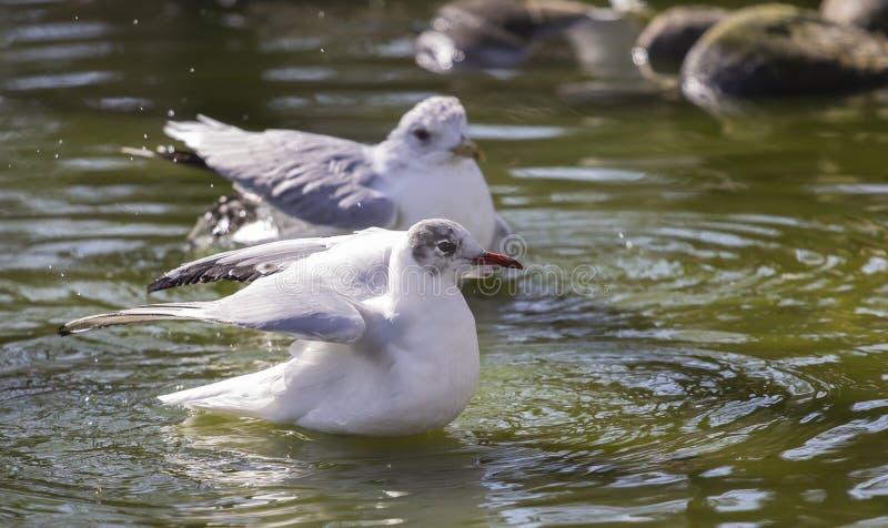 Чайки на поверхности воды стоковое фото