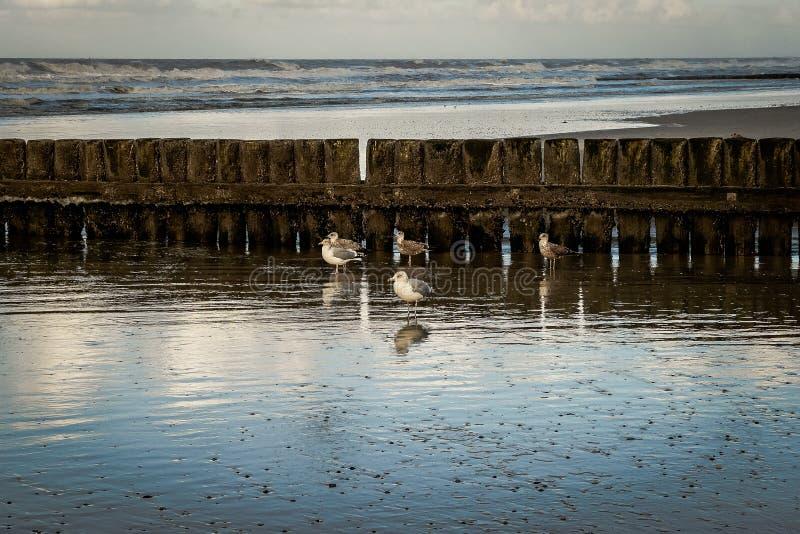 Чайки на пляже перед деревянным wavebreaker стоковое фото