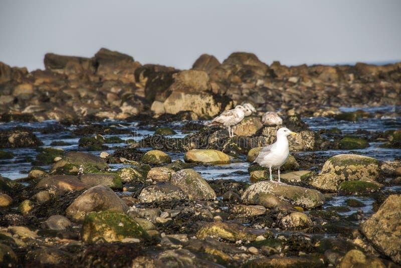 Чайки на утесах на пляже летом стоковое изображение rf