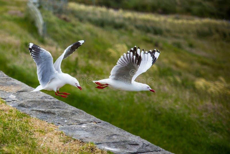 Чайки на этап Harington, Новая Зеландия стоковые изображения