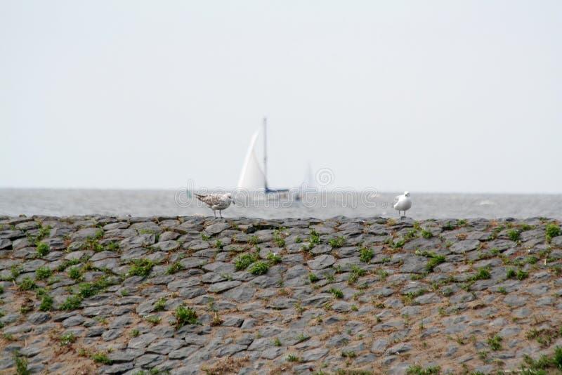 Чайки на Dike вдоль IJsselmeer стоковое фото rf