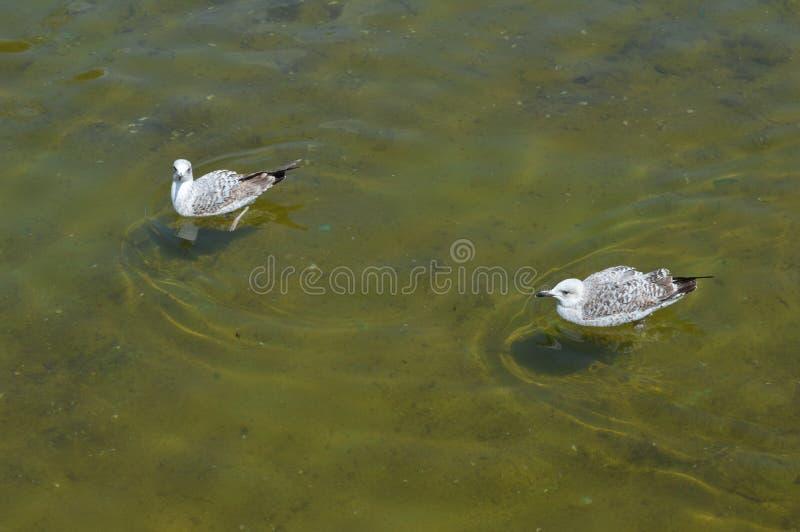 2 чайки плавают на поверхности воды стоковые изображения