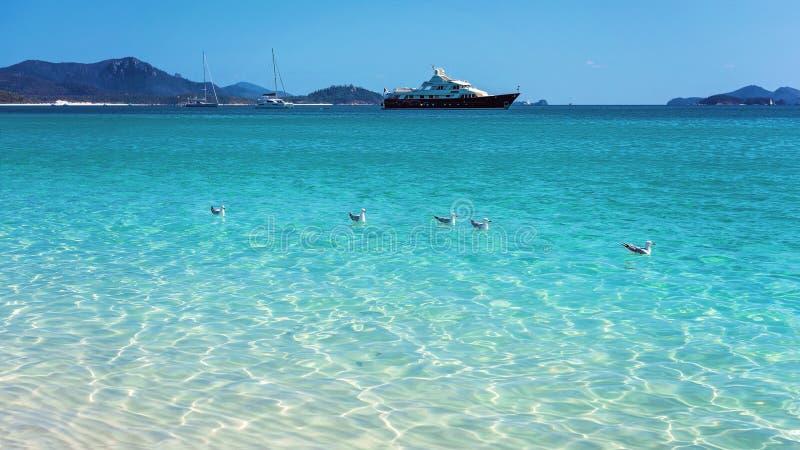 Чайки плавая в ясном открытом море белого пляжа песка кремнезема в Whitsundays Австралии стоковые изображения rf