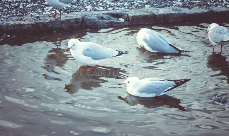 Чайки представленные счет красным цветом купая в свежей воде стоковое изображение rf