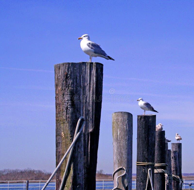 чайки пристани стоковое фото