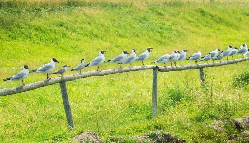 Чайки сидя на загородке стоковая фотография rf