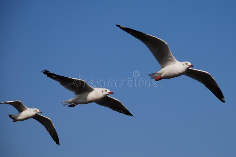чайки 3 стоковое изображение