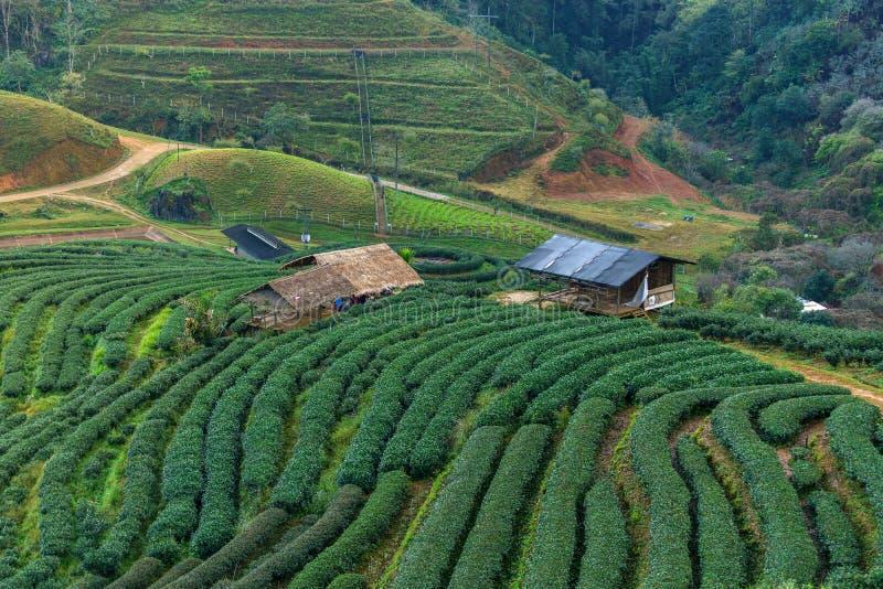 Чай горного склона в Таиланде на утре стоковые изображения