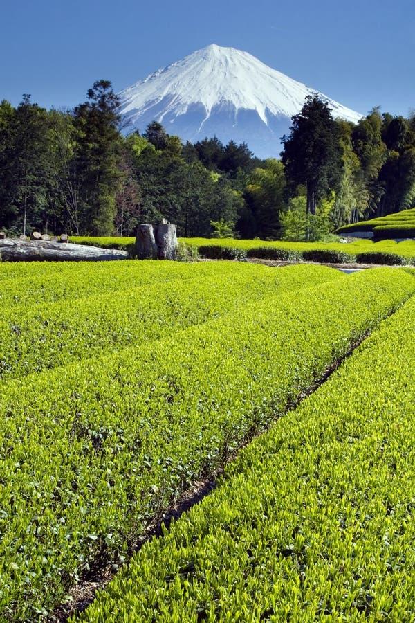 чай зеленого цвета III полей стоковые изображения