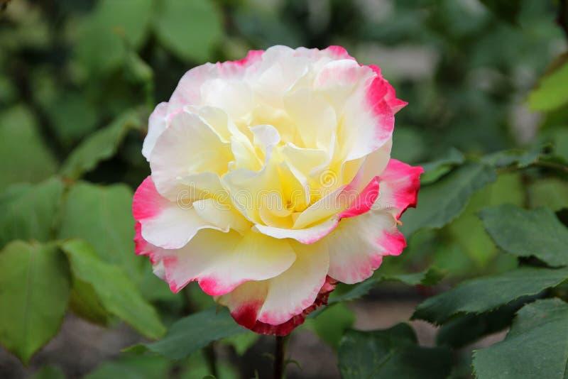 Чай наслаждения двойника Розы гибридный поднял стоковые фото