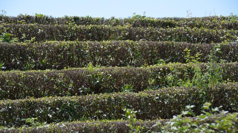 Download Чай на кустах стоковое фото. изображение насчитывающей countryside - 40575604