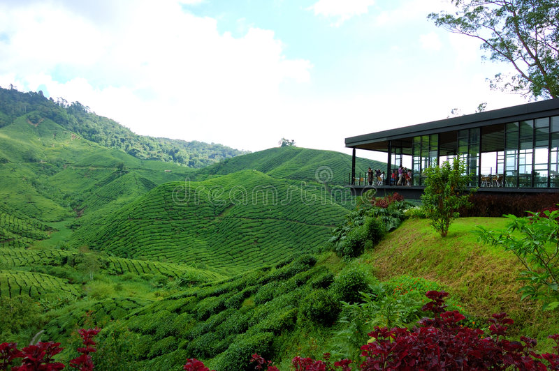 чай плантации гористых местностей фермы cameron стоковая фотография