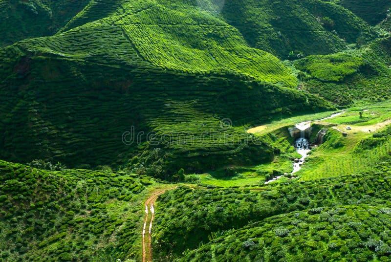 чай плантации Малайзии стоковые фотографии rf