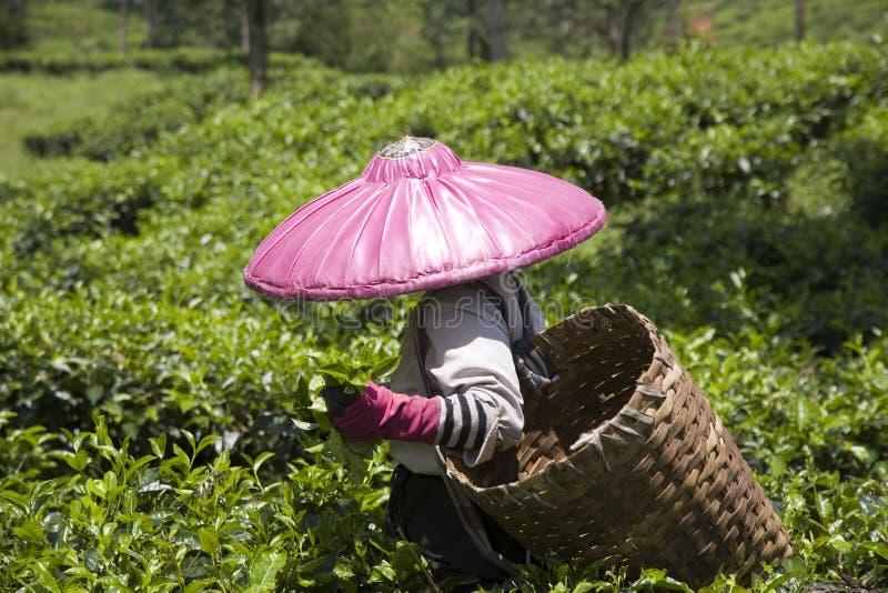 чай подборщика стоковое фото rf