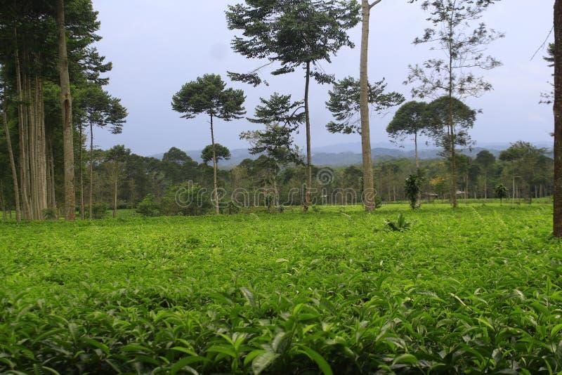 Чай природы стоковое фото rf