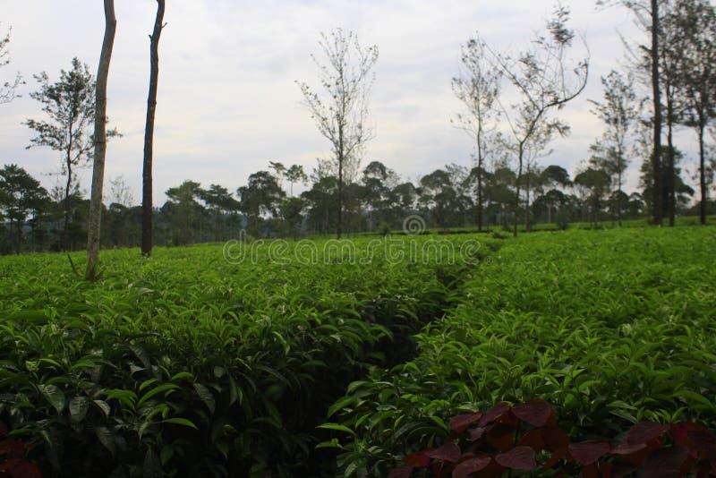 Чай природы стоковые изображения rf