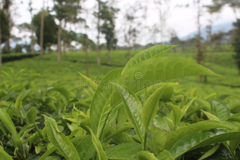 Чай природы стоковая фотография