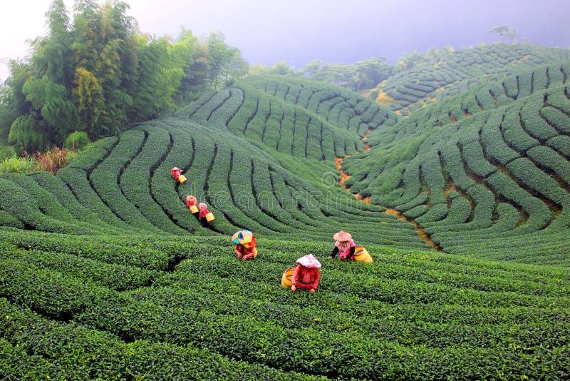 чай рудоразборки стоковые фото