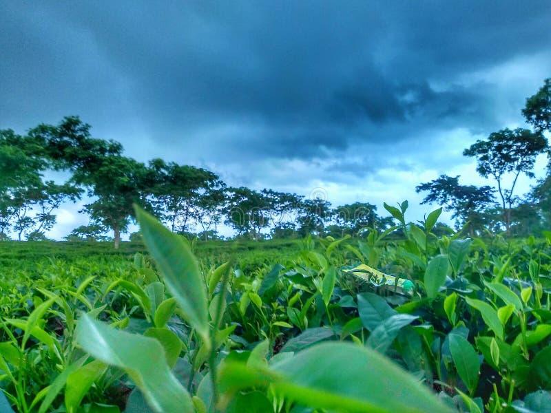 чай сада стоковые изображения rf