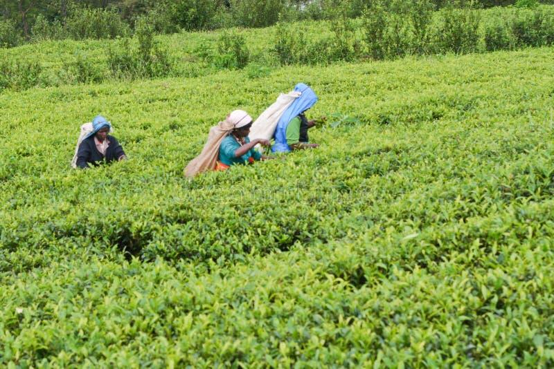 чай страны стоковые фотографии rf