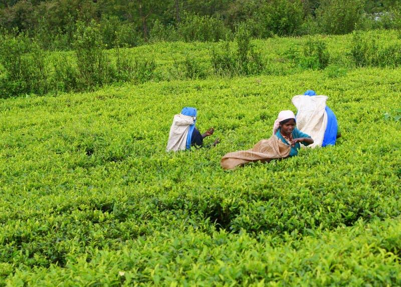 чай страны стоковое фото rf