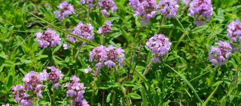Чай тимиана на деревянном столе Цветки тимиана в природе Тимиан обыкновенно использован в кулинарии и в фитотерапии стоковые изображения rf