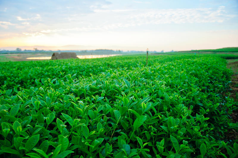 чай фермы зеленый стоковые изображения