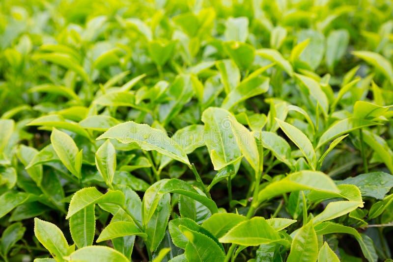 Чай bushes гористая местность Камерона плантации горы, Малайзия стоковые изображения