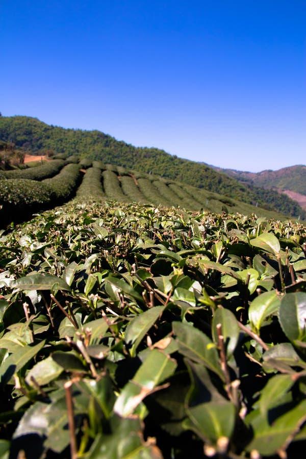 Чай Fields на поле Choui Fong, Chiang Rai, Таиланде стоковые изображения