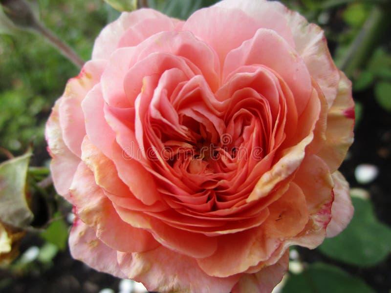 Чай Romantica яркого пинка раковины гибридный поднял близко вверх по зацветать летом стоковые фото