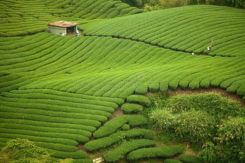 чай taiwan gua сада ba стоковое фото rf