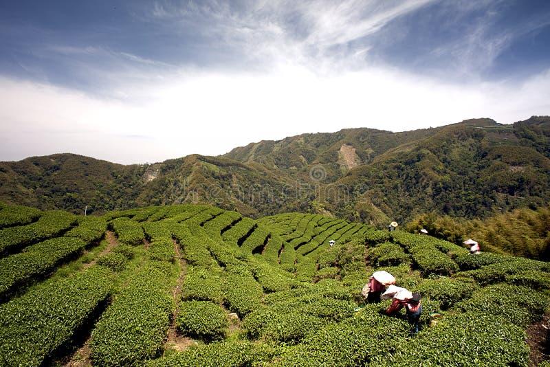 чай taiwan gua сада ba стоковое изображение rf
